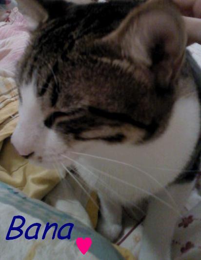 高雄 白底虎斑小猫 可爱亲人 找温暖的家