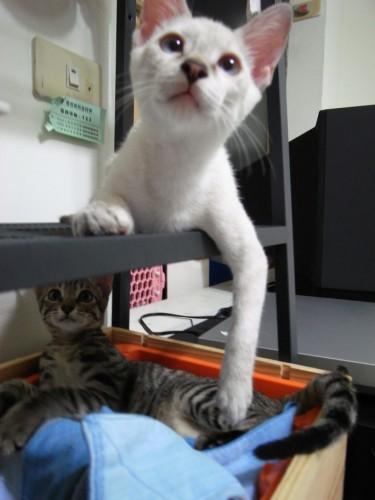 【送养】超可爱虎斑猫哥哥+白猫妹妹
